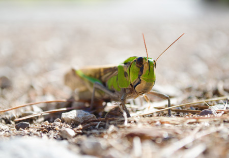 Low angle shot of a migratory locust in its natural habitat. Front view. Shot taken on Mallorca, Spain.