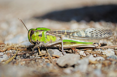 Low angle shot of a migratory locust in its natural habitat. Side view. Shot taken on Mallorca, Spain. Stock Photo