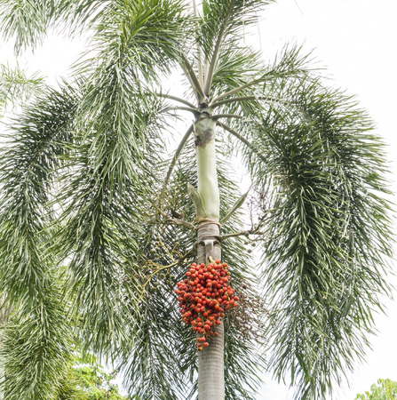 areca: Ripe Betel Nuts on the palm tree at the park in Thailand