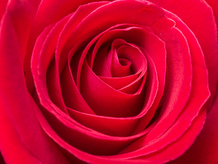red rose: Close up red rose flower (Background  Texture  Wallpaper), Love concept