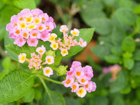 lantana camara: Close up pink Lantana Camara flower in the garden on green leaf background Stock Photo