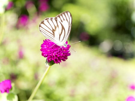 white perch: Close up white butterfly on Globe amaranth flower in the garden at the afternoon