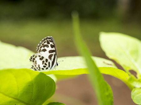 lack: Closeup white butterfly with lack wings on green leaf at Pang Sida National Park, Sa Kaeo, Thailand