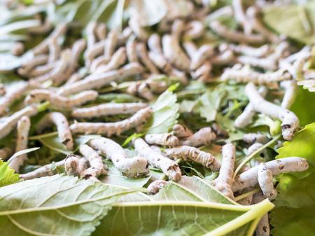 sericulture: Close up Silkworm (Sericulture) on mulberry green leaf (Selective focus)