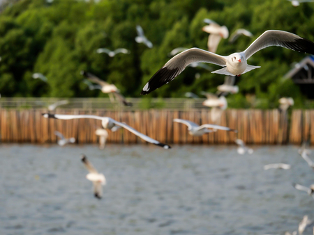 Flock of Seagull bird flying over the sea in the coast with green tree blur background