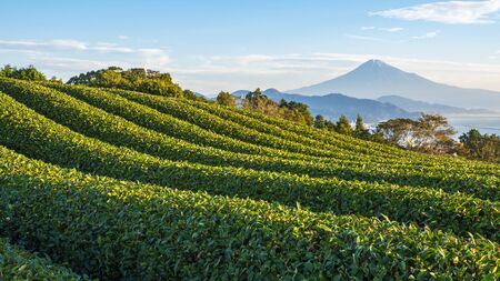 Green tea plantation with backgound of Fuji mountain with sun light in the morning at Nihondaira, Shizuoka, Japan Stock fotó