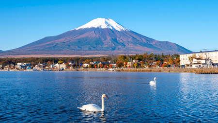 Landscape of Fuji Mountain and white swan swimming in the lake at Yamanaka Lake, Yamanashi, Japan 版權商用圖片