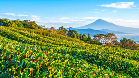 Selective focus ot fresh green tea field with Fuji mountain background at Nihondaira, Shizuoka, Japan