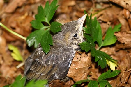 Nestling of catbird fallen out from the nest   Stock Photo