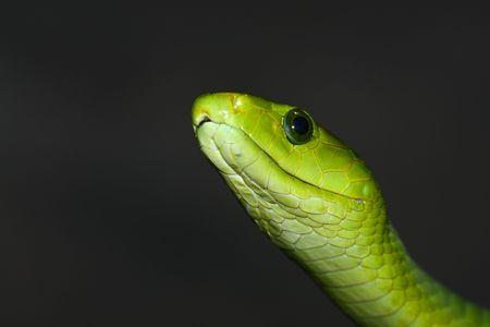 Close-up photograph of green mamba   Stock Photo