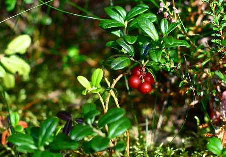 Wild cranberry growing in forest