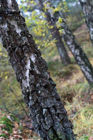 behind scenes: Birch close-up in the forest Stock Photo