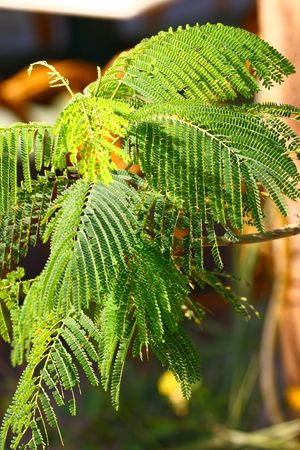 Acacia close-up Stock Photo