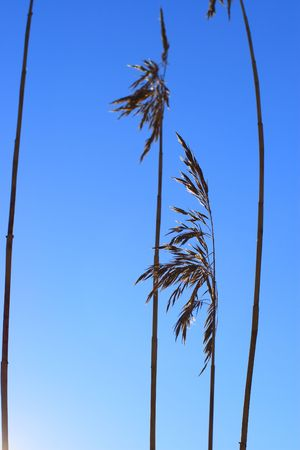 Reeds silhouette over the blue sky