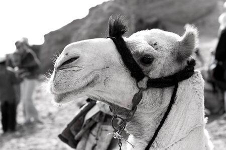 Camel b&w Stock Photo