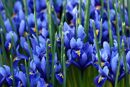 Blue irises Stock Photo