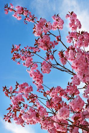 Pink cherry blossom over blue sky photo
