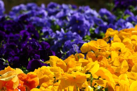 Bed of pansies from a low angle