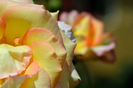 Yellow roses from the garden of the monastery, close-up photo
