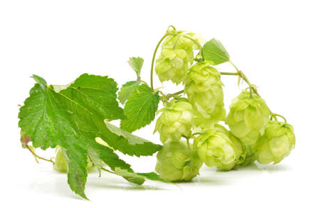 Green hop cones on a white background close-up photo