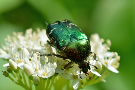 Chafer beetle  Cetonia aurata  on a flower close-up photo
