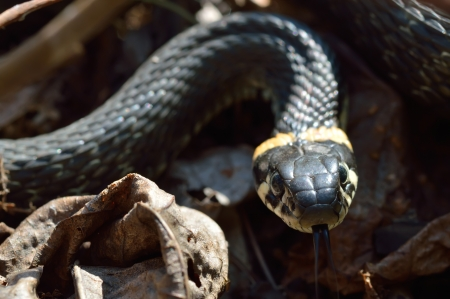 grass snake: Grass snake preparing for the attack, close-up