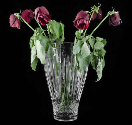 Dying red roses on black backround in crystal vase