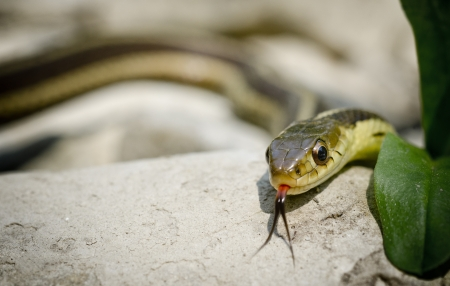 slithering: A Garter snake slithering over rock Stock Photo