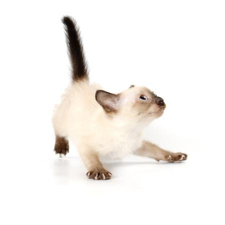 白い背景の上の面白い遊び心のあるシャムの子猫