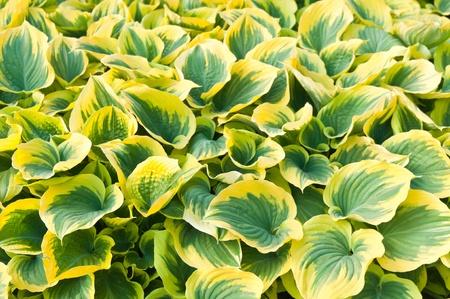 hosta leaves close up background