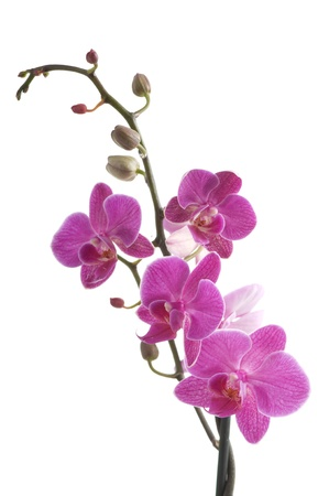 orchid flower: branch of orchid flower (phalaenopsis) on white background Stock Photo