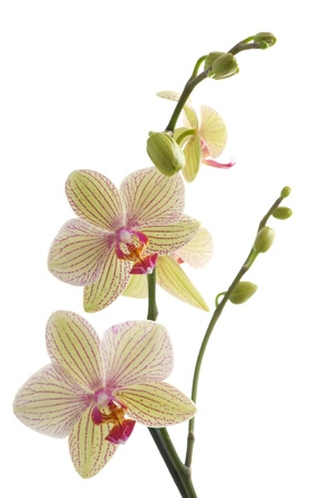 branch of orchid flower (phalaenopsis) on white background Stock Photo