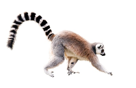 zu Fuß lemur Standard-Bild