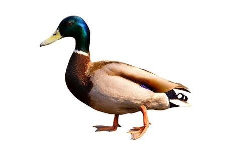 walking duck   photo