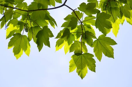 close-up maple tree green leaves season background photo