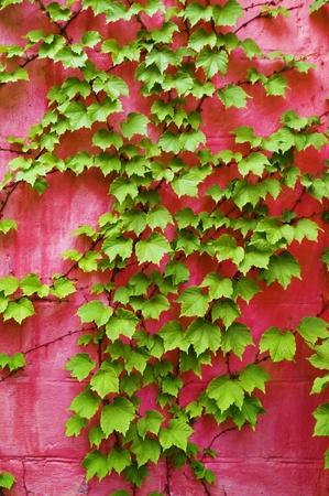 grünem Efeu auf rosa Hintergrund Wand