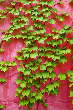 green ivy on pink wall background photo