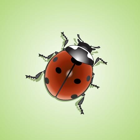 lady beetle: ladybug (Coccinellidae)