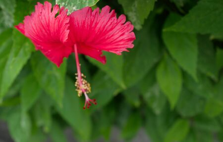 two tone: Red hibiscus flower on nature blur background. Stock Photo