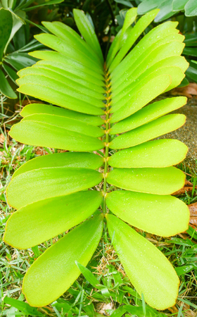 Cardboard palms. Tropical house plants scientific name zamia furfuracea. Green leaves for natural background.