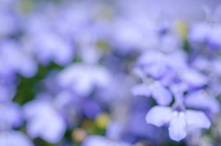 lobelia: abstract floral background of lobelia erinus