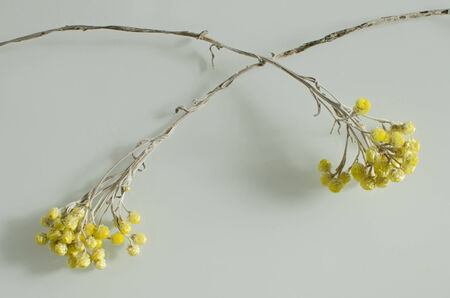 immortal: arrangement with two yellow dry flowers on a neutral background