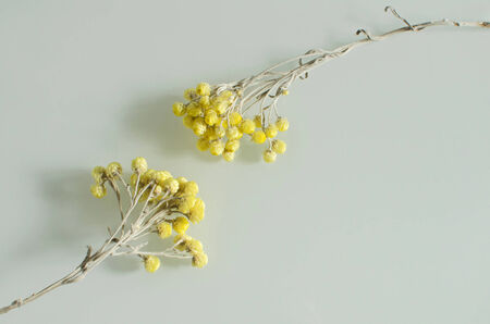 enveloping: two withered yellow flowers reaching for each other