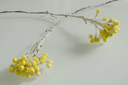 immortal: arrangement with two yellow dry flowers