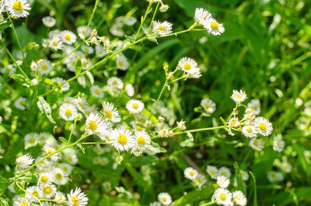 radiant: radiant daisy flowers in green grass in garden