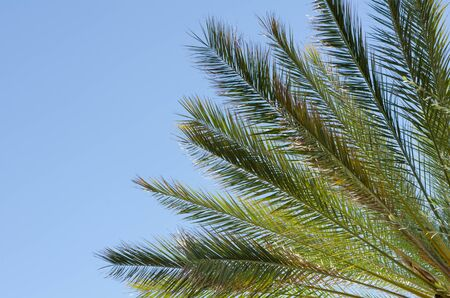 shinning leaves: close-up of beautiful palm tree branches and leaves shining in the sun with a clear blue sky for a background