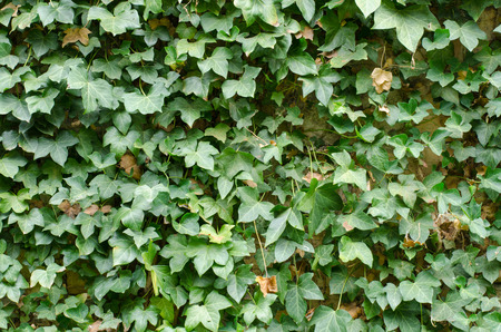 green background: background of green ivy