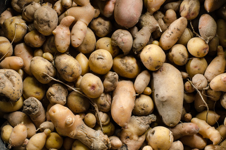 grown up: close up of variety of organically grown potato cultivars