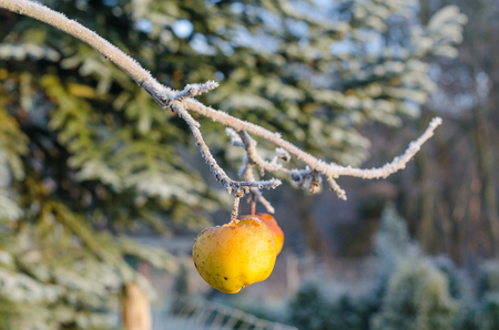 frostbitten yellow apples hanging from a branch resembling Christmas tree decoration on a cold and beautiful winter day Stock Photo