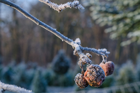 frozen and withered apples hanging from a frostbitten tree branch on a cold winter day